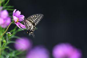 Бесплатные фото Cosmos with Swallowtail,цветок,космос,бабочка,насекомое,флора,чёрный фон