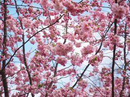 Заставки цветущее растение, японская вишня, цокольный завод