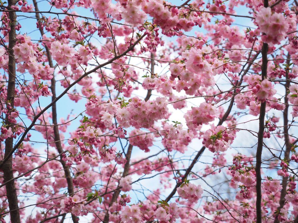 Фото цветущее растение японская вишня цокольный завод - бесплатные картинки на Fonwall