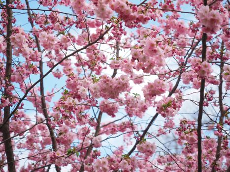 Photo free flowering plant, Japanese cherry, ground plant