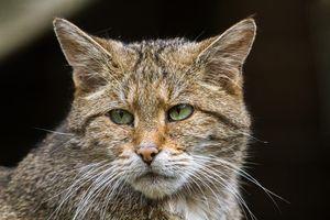 Заставки Европейская дикая кошка, морда, взгляд