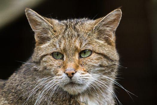 Фото бесплатно Европейская дикая кошка, морда, взгляд
