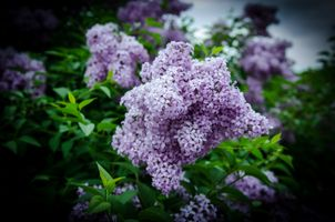Бесплатные фото сирень,цветы,ветка,листья,флора