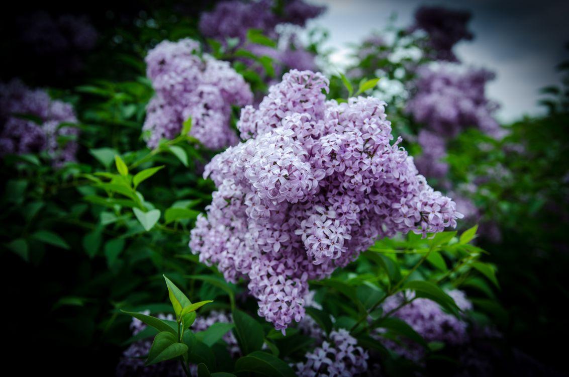 Фото бесплатно сирень, цветы, ветка, листья, флора, цветы
