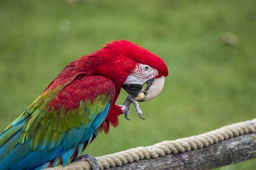 Фото бесплатно попугай, ара, красочный