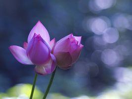 Фото бесплатно Lotus, лотос, лотосы