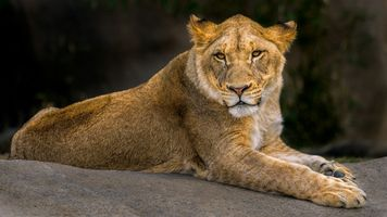A lioness at rest · free photo