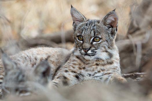 Photo free predator, Lynx lynx, lynx