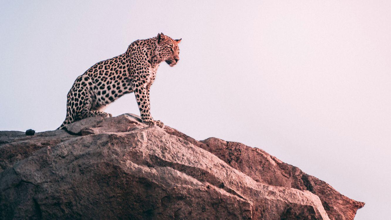 Обои леопард, на скале, вечер картинки на телефон