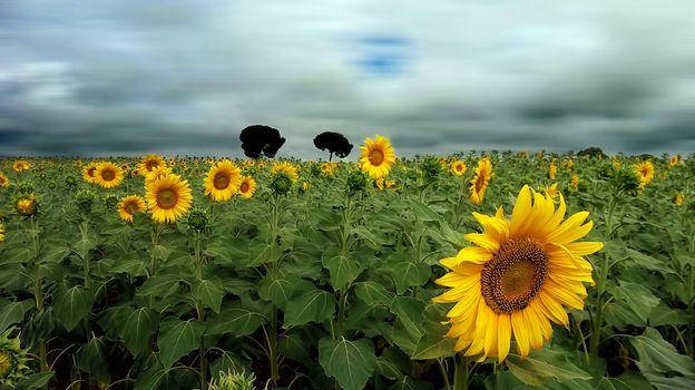 Фото бесплатно много подсолнухов, подсолнух, поле подсолнухов