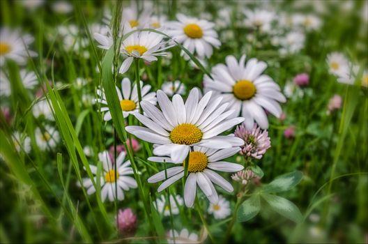 Фото бесплатно поле, полевые цветы, ромашки