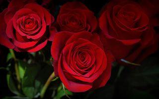 Фото бесплатно роза, цветок, букет