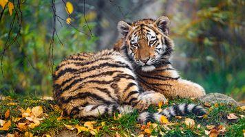 Осенний тигрёнок · бесплатное фото