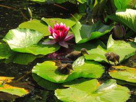 Фото бесплатно пруд, водоём, лопухи, цветы, водяная лилия, утята, природа