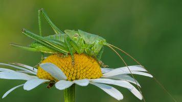 Фото бесплатно ромашка, саранча, цветок