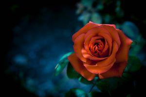 Заставки роза, оранжевый бутон, ветка