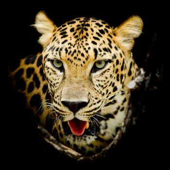 Красивые картинки хищник, леопард портрет бесплатно