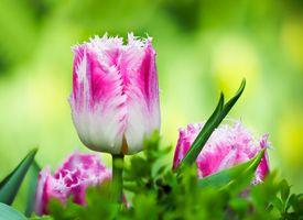 Фото бесплатно цветок, тюльпаны, макро