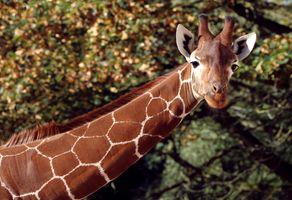 Заставки жираф, длинная шея, морда