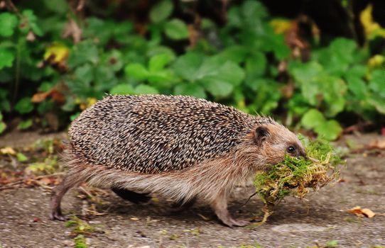 Photo free hedgehog, grass, walking