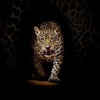 Картинки на заставку портрет леопарда, леопард бесплатно