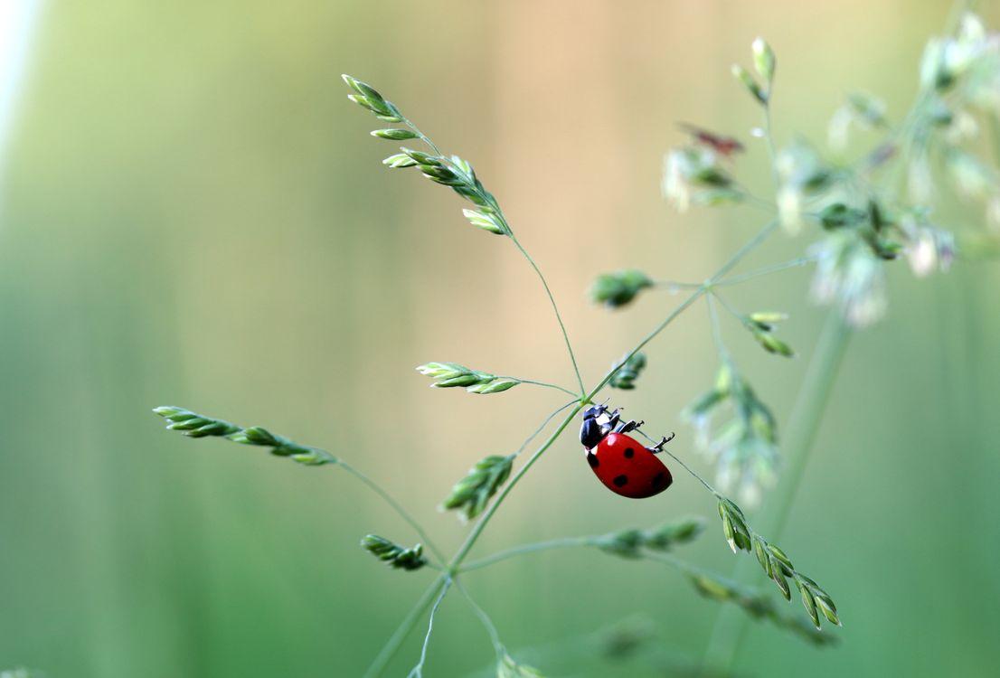 Фото бесплатно растение, божья коровка, макро, насекомое, зелёный, трава, насекомые - скачать на рабочий стол