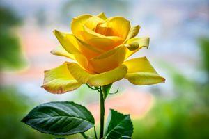 Желтые лепестки розы