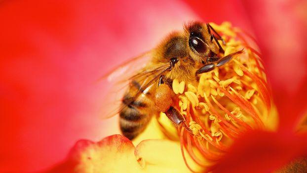 Фото бесплатно оса, нектар, цветок, макро, собирает пыльцу, пыльца, цветочная