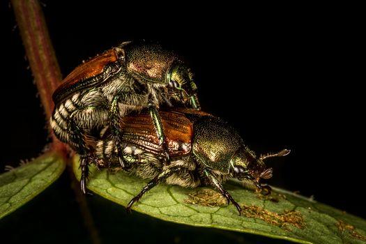 Бесплатные фото майский жук,майские жуки,спаривание,макро