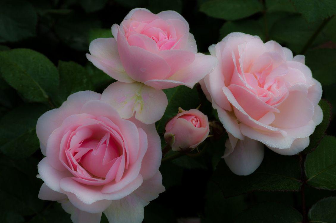 Фото бесплатно роза, после зимы, хорошее качество - на рабочий стол