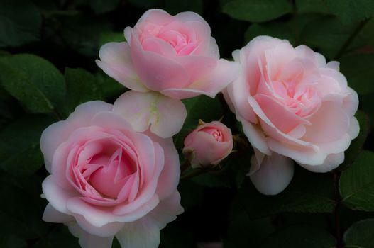 Фото бесплатно роза, после зимы, хорошее качество