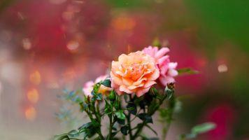 Photo free flowers, roses, bloom