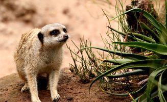 Заставки meerkat, suricate, испуганный