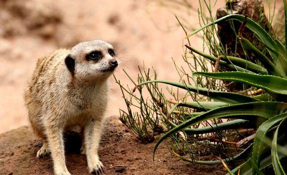 Бесплатные фото meerkat,suricate,испуганный,suricata,suricatta,сурикаты,сурикат,meerkat family,животные
