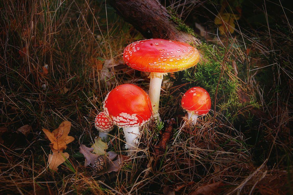 Фото бесплатно мухомор, лес, природа, токсичных, осенью, красный, гриб, мох, палая, пятнистый, шляпа, muscaria, лесные грибы, ядовитый, природа