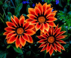 Бесплатные фото Gazania,цветы,клумба,цветок,Газания,газании,флора