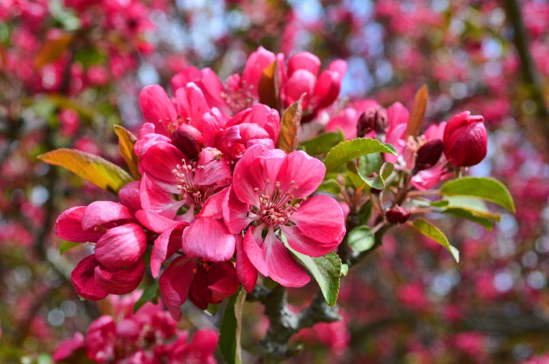 Фото бесплатно весна, яблоня, крупным планом - на рабочий стол