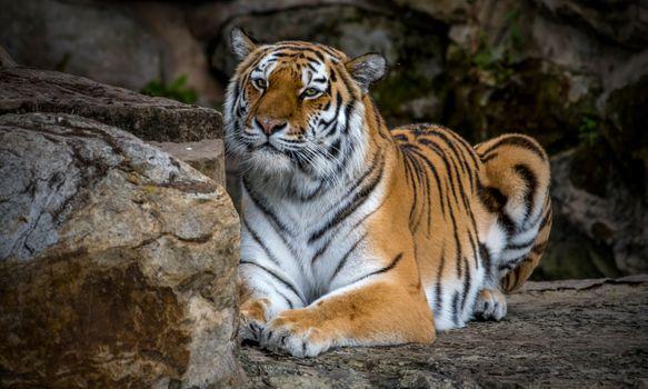 Красивые фото хищник, амурский тигр