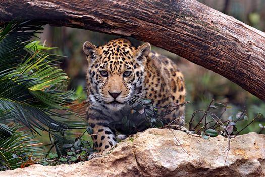 Фото бесплатно кошка, Ягуар, хищник