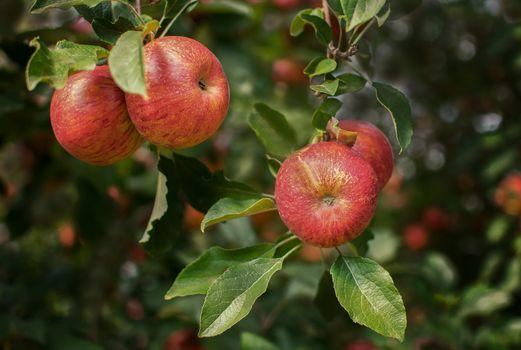 Photo free fruit, nature, apples