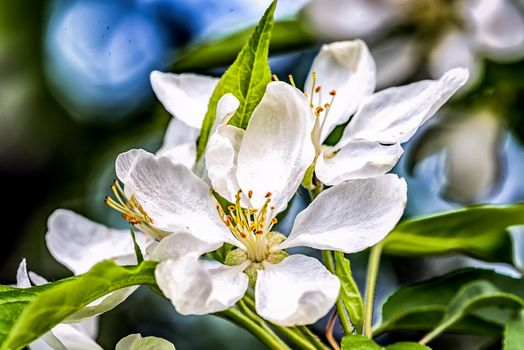 Photo free flowers, spring, Apple tree in bloom