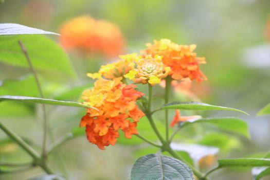 Бесплатные фото цветок,цветущее растение,растение,оранжевый,ботаника,лантана камара,лепесток,однолетнее растение,лантана,молочая,семья вербены,дикий цветок