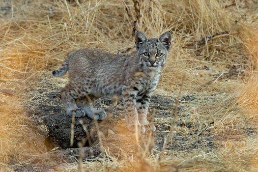 Screensaver predator, lynx on the phone