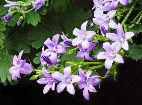 Бесплатные фото Campanula,колокольчики,цветы,чёрный фон,флора