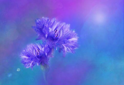Фото бесплатно цветок, василёк, голубой фон