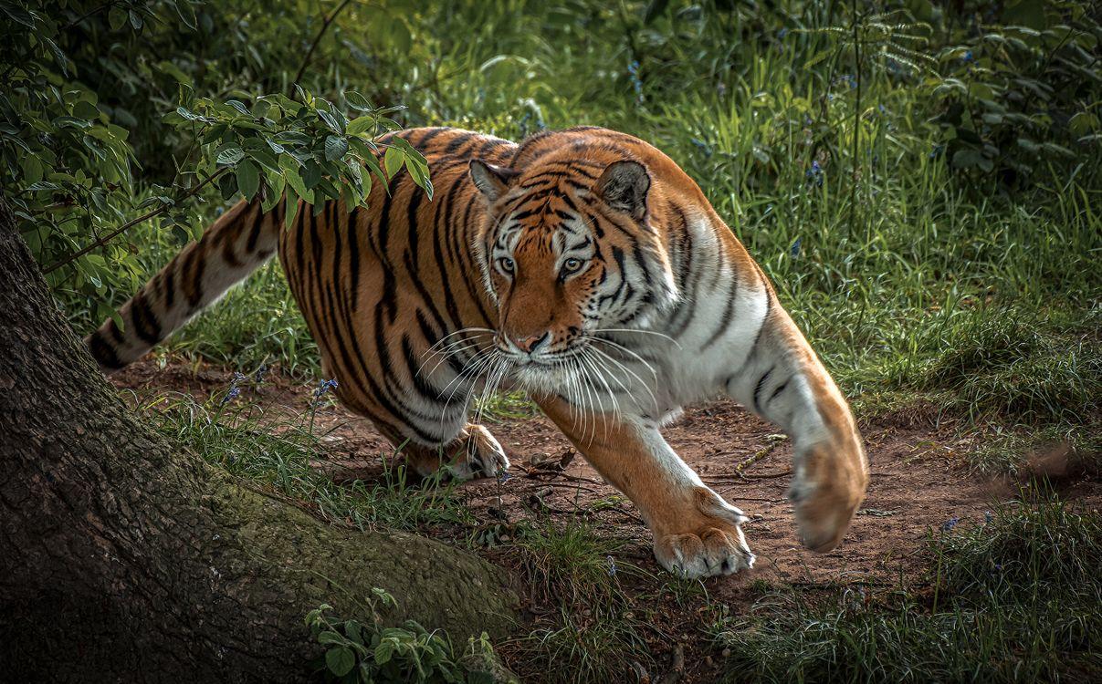 Картинки на тему амурский тигр, хищник