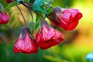 Заставки Chinese Lantern, цветок, цветы