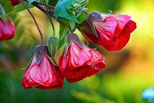 Photo free Chinese Lantern, flower, flowers