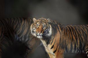Заставки хищник, тигр, портрет