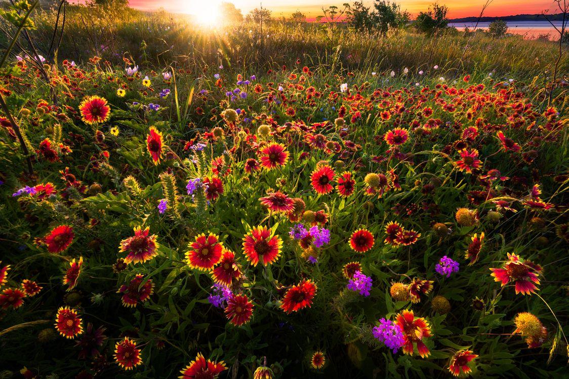 Фото бесплатно цветение, поле, закат - на рабочий стол